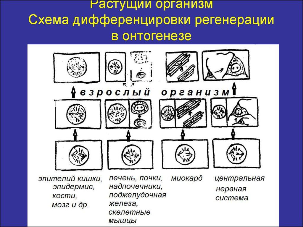организм схема