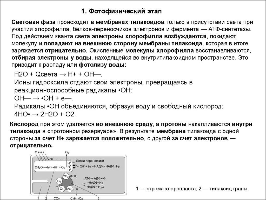 схема фотостнтеза световая фаза
