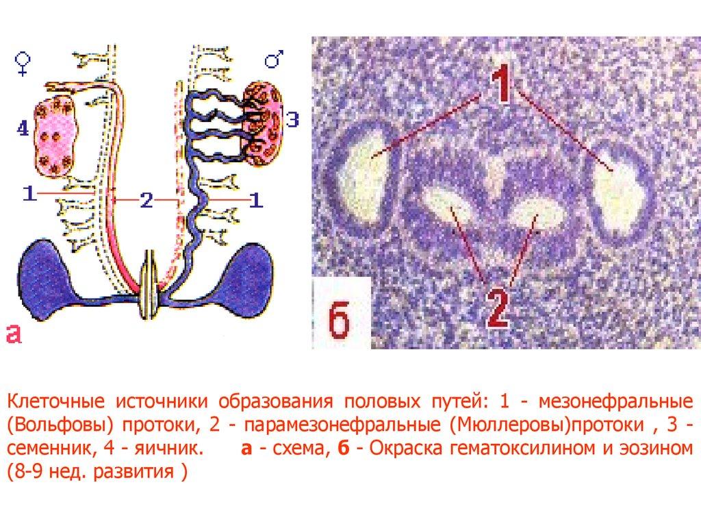 женская репродуктивная система схема