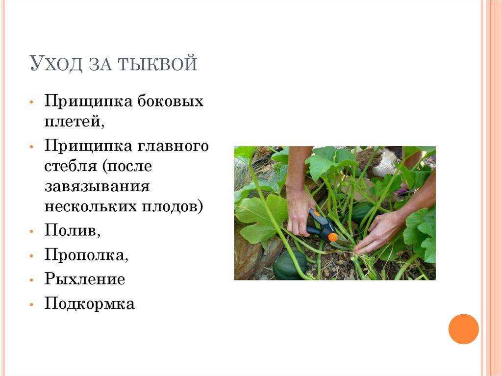 Выращивание тыквы прищипывание 95
