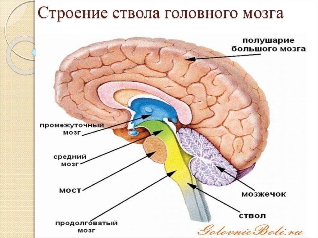 Рисунок стволовая часть мозга