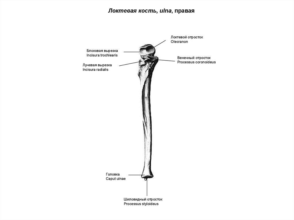 Кость Локтевая