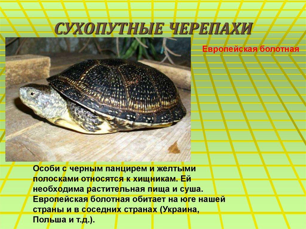 Содержание европейской черепахи в домашних условиях