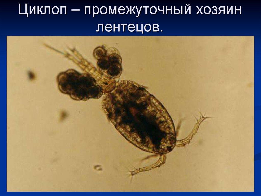 ленточные паразиты человека лечение