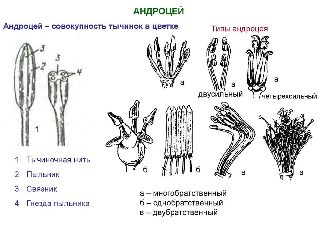 Генеративные органы цветковых растений - online presentation: http://en.ppt-online.org/58813