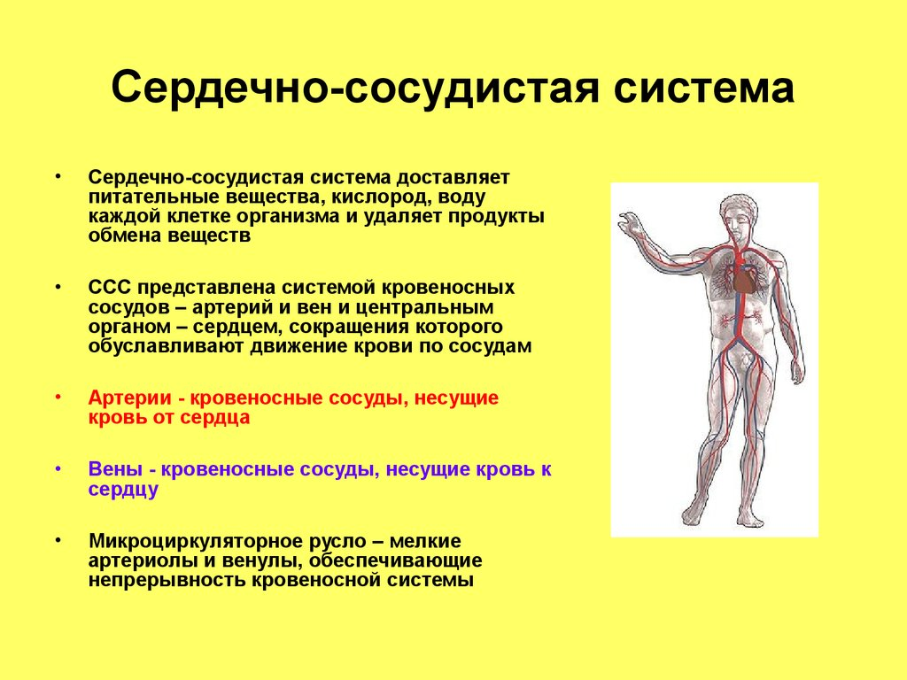 Система Сердечно-Сосудистая