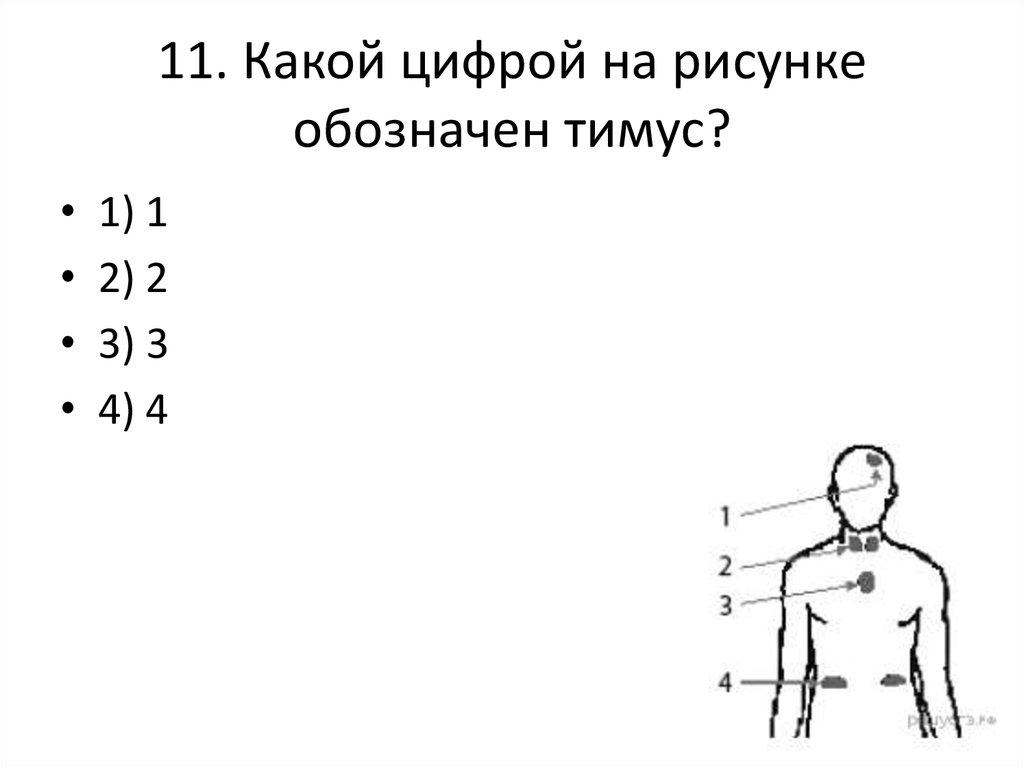 Какой цифрой на рисунке обозначен тимус