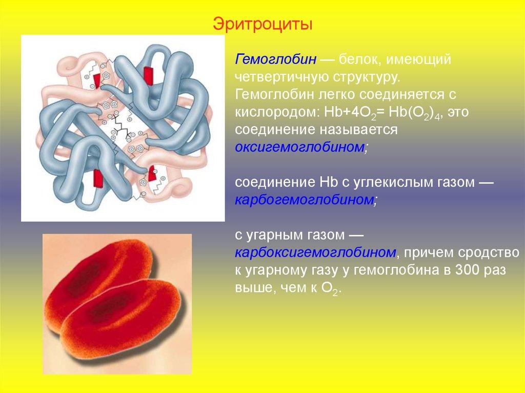 Особенности строения эритроцитов связаны с их функциями 132