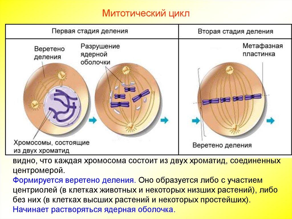 акроцентрические хромосомы картинки