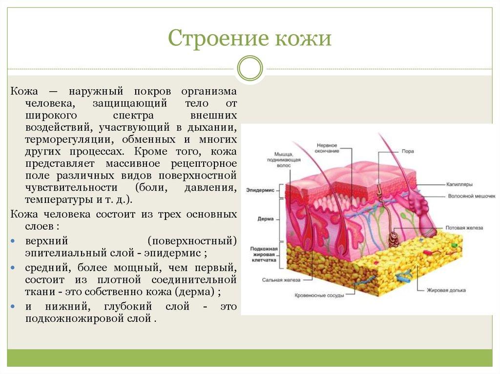 Анатомия человека строение кожи человека