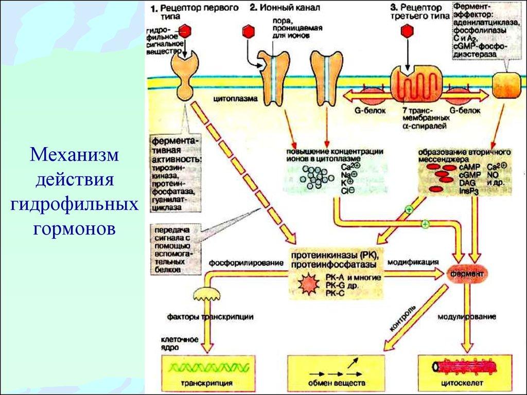 механизмы действия гормонов схема