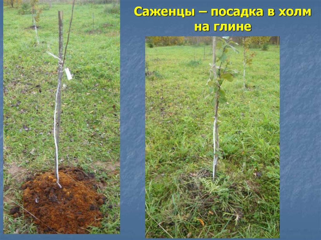 Как сажать деревья в глинистую почву 41