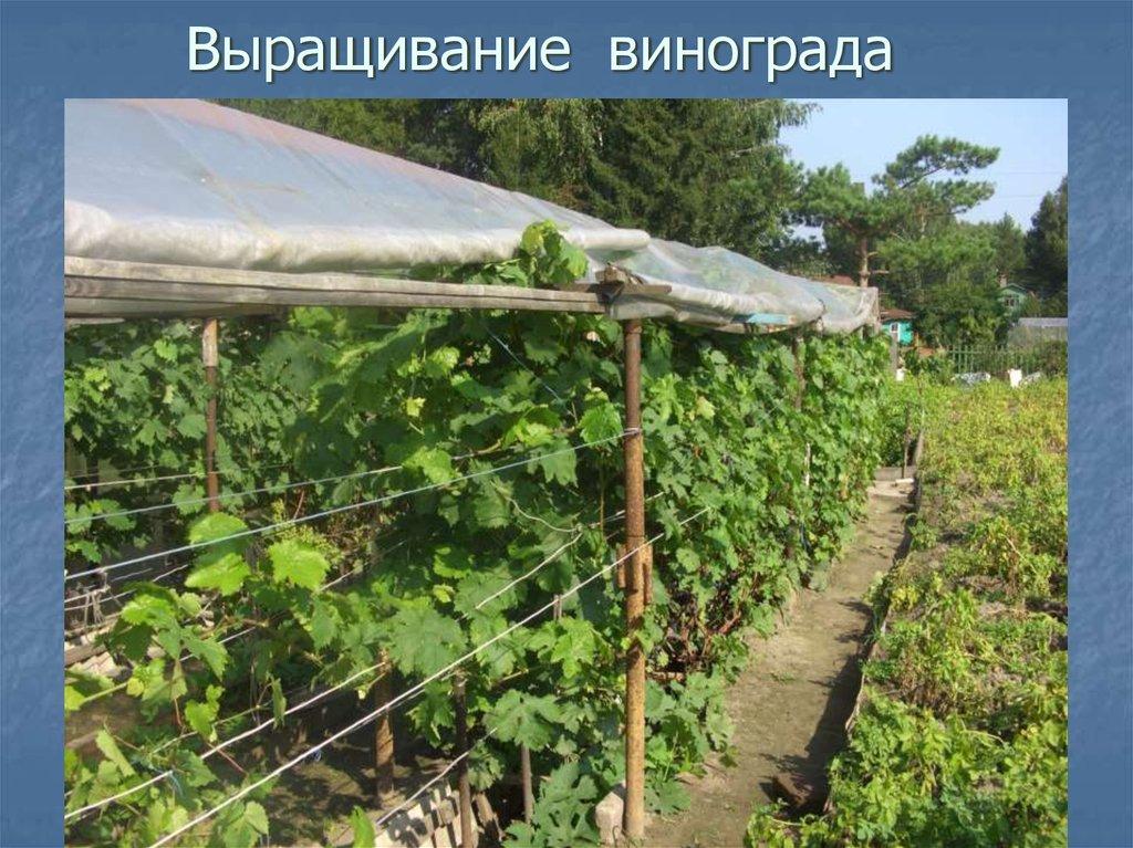 Виноград выращивание в средней полосе 469
