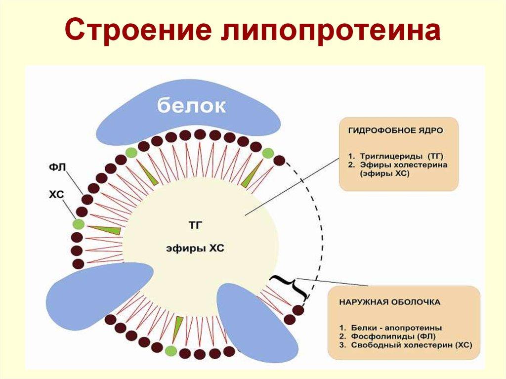 Lipoprotein a