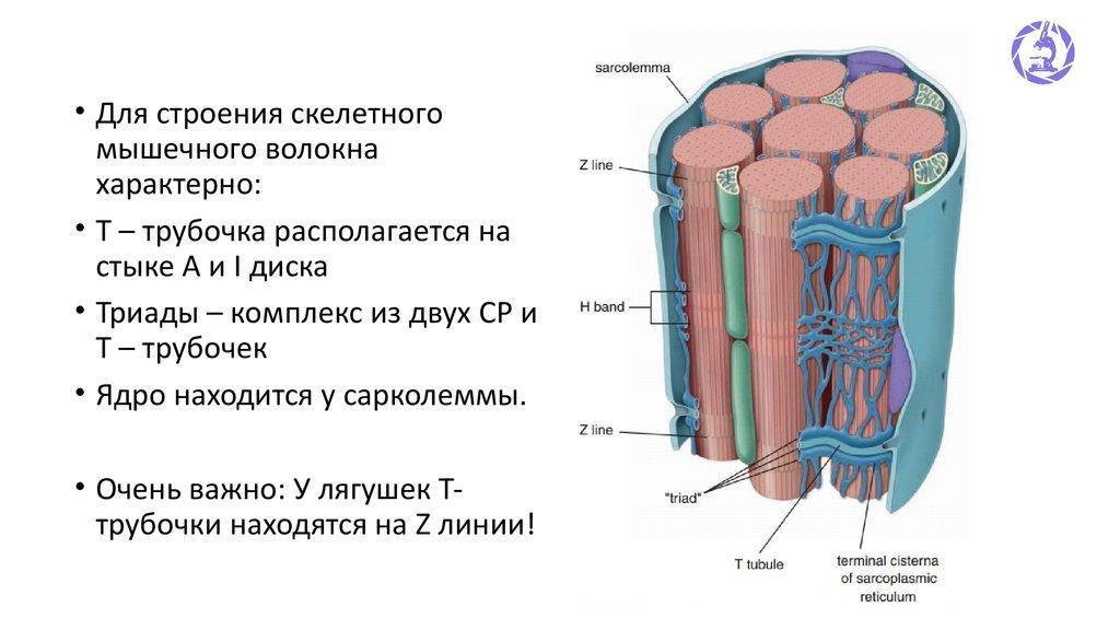 Сарколемма