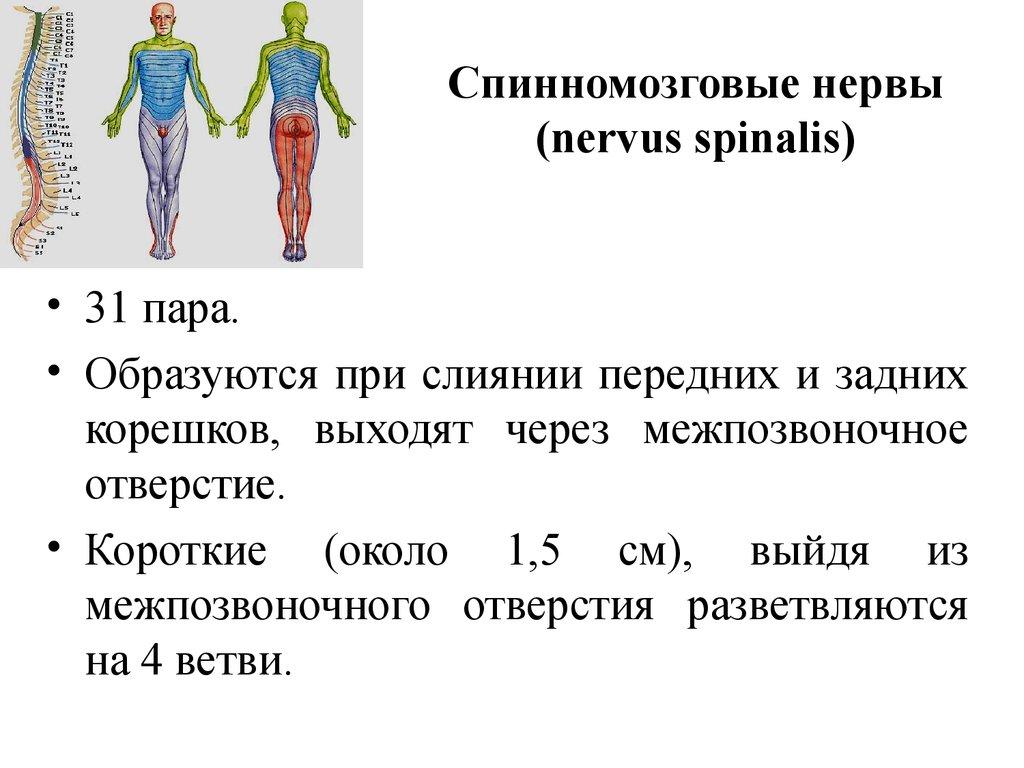 Анатомия нервных сплетений