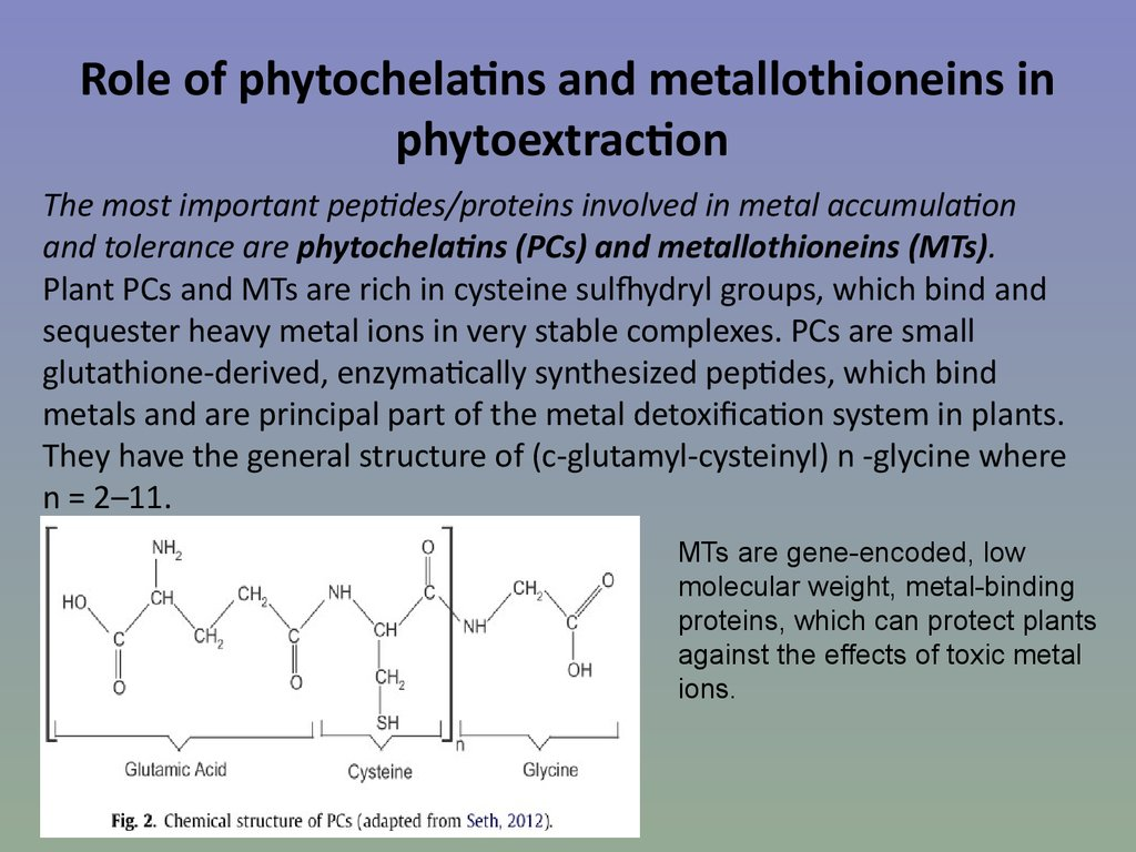 Role of phytochelatins and metallothioneins in phytoextraction