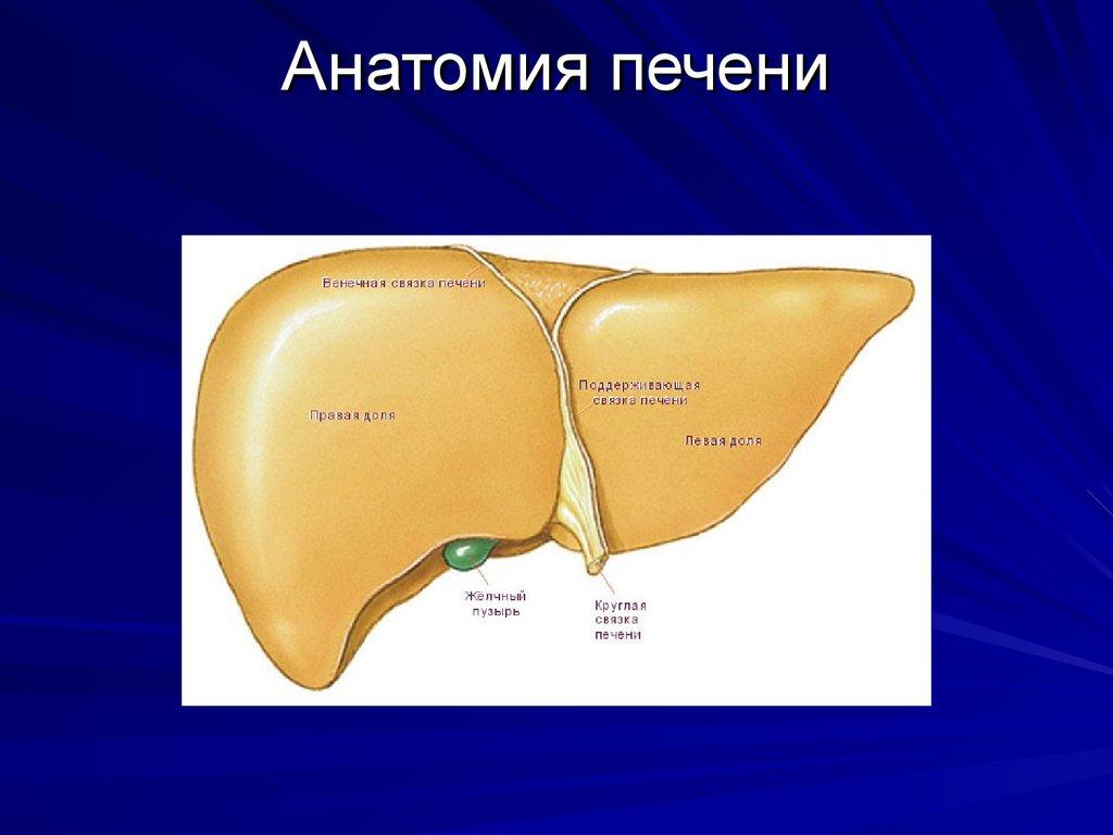 Liver slide