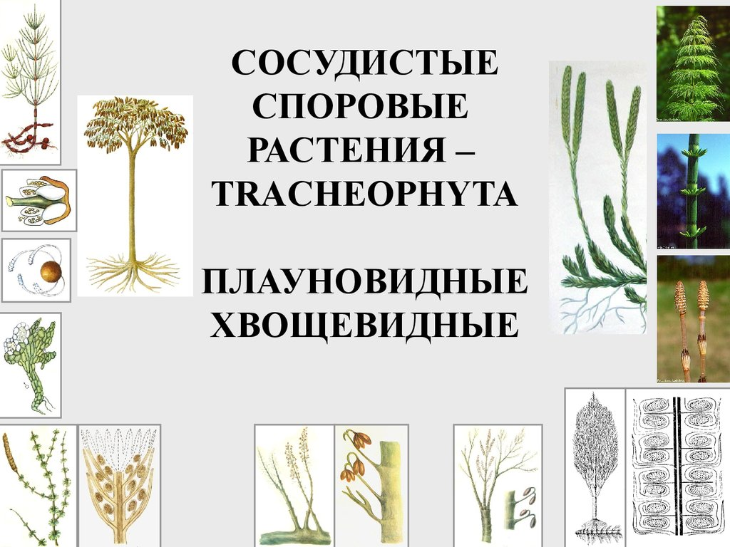 размножение споровых растений презентация 6 класс