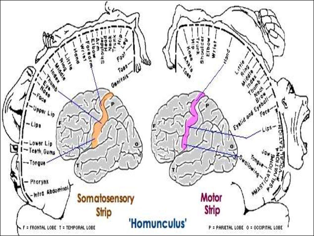 схема строения коры больших полушарий головного мозга