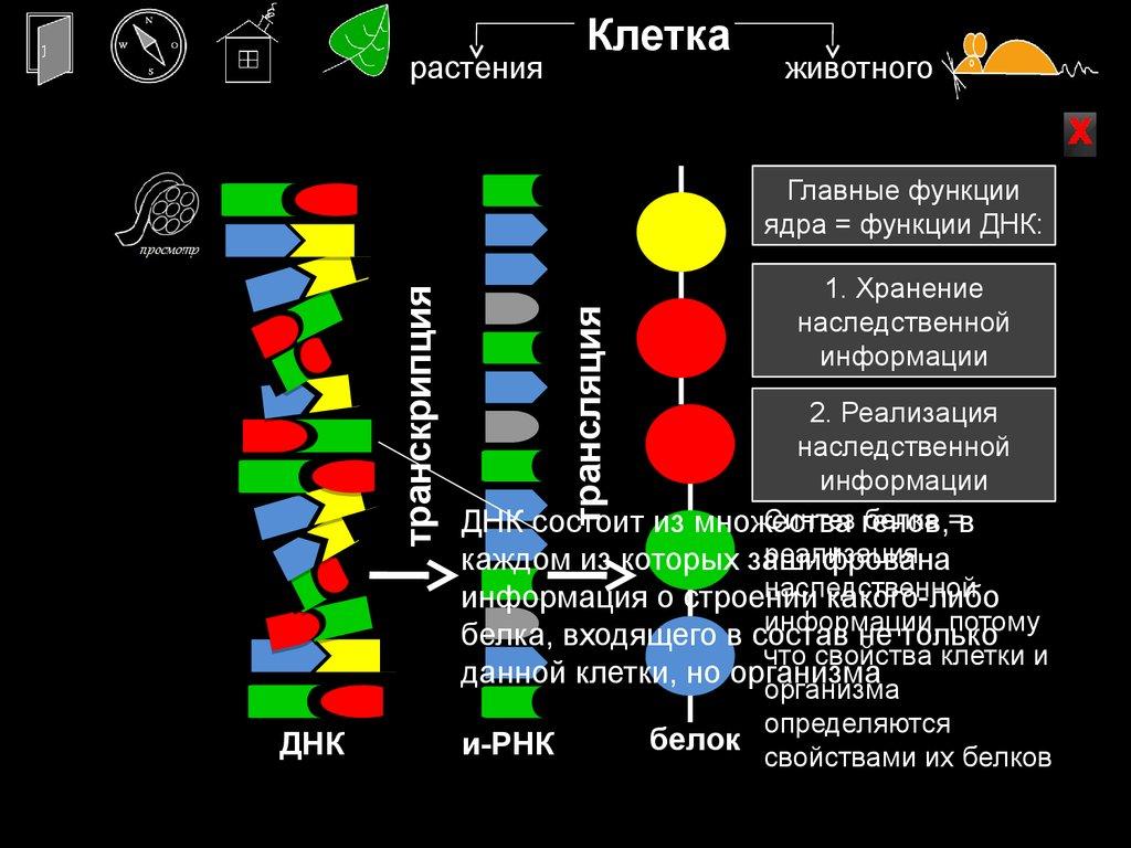 клеточное ядро.хромосомы биология 10 класс презентация