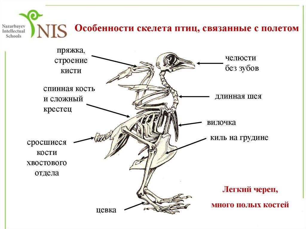 Особенности скелета связанные с полетом