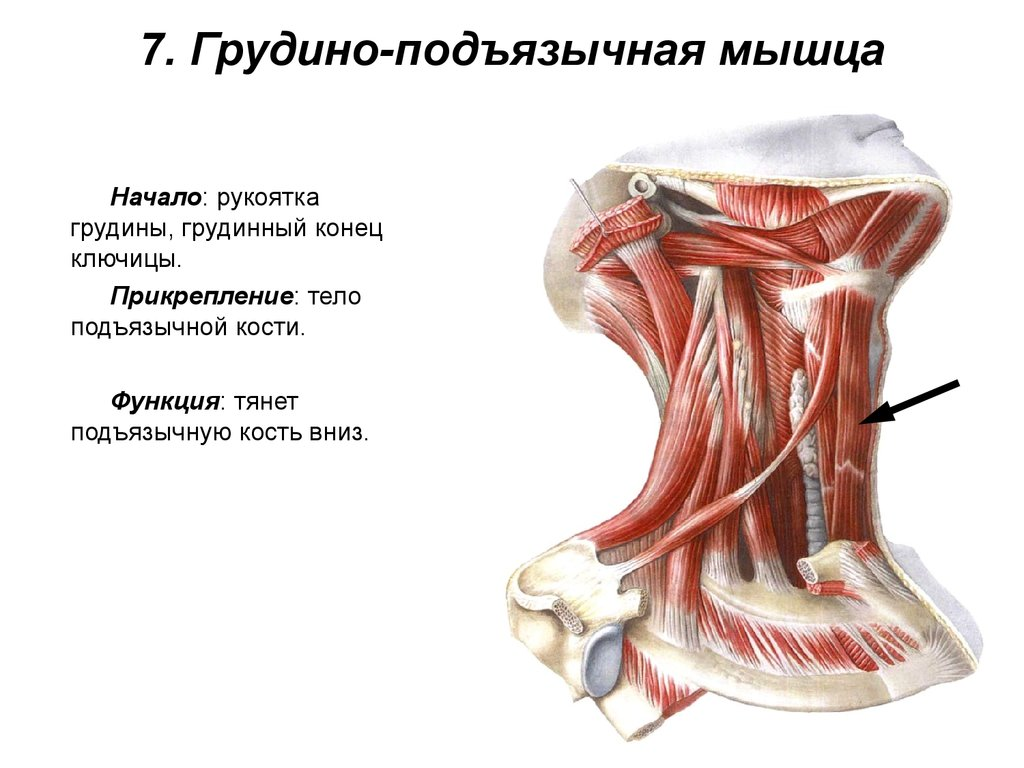 Мышца грудиноподъязычная