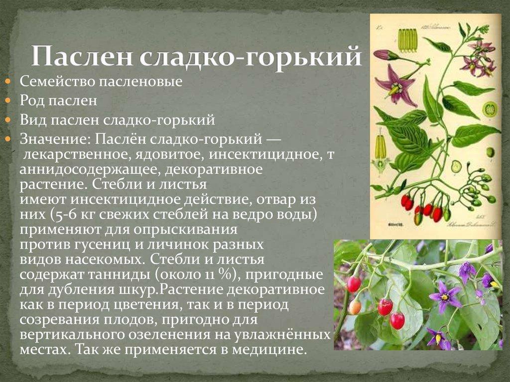 Паслён сладко-горький выращивание 32