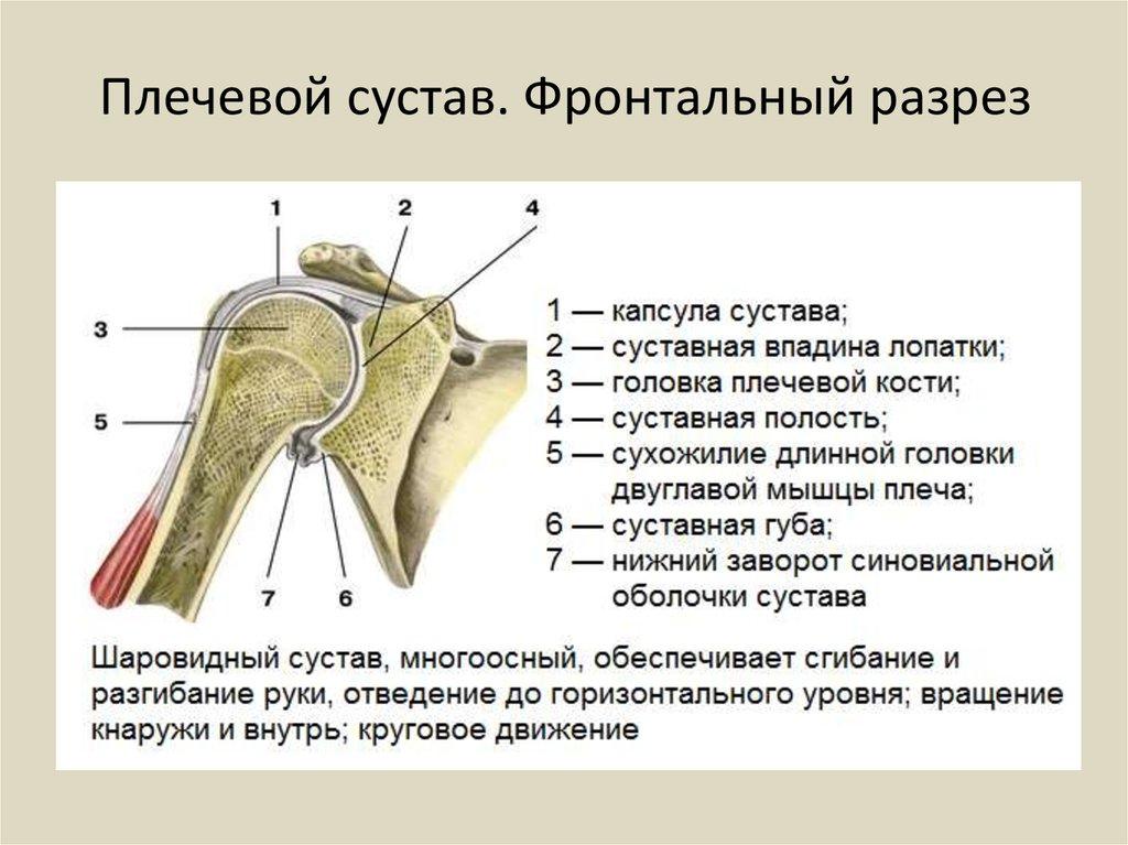 Как сделать плечевой сустав 83