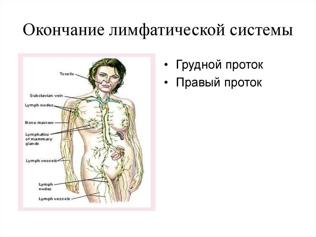 Лимфатическая система женщины схема