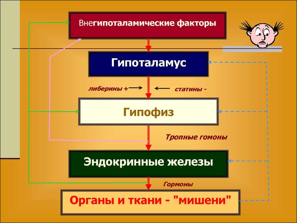 Лекция по эндокринной системе