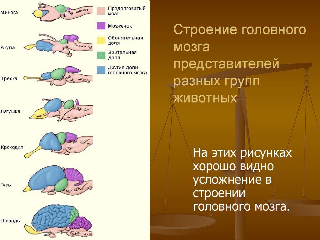 сладкую мозг хордовых картинки симпсон вышел