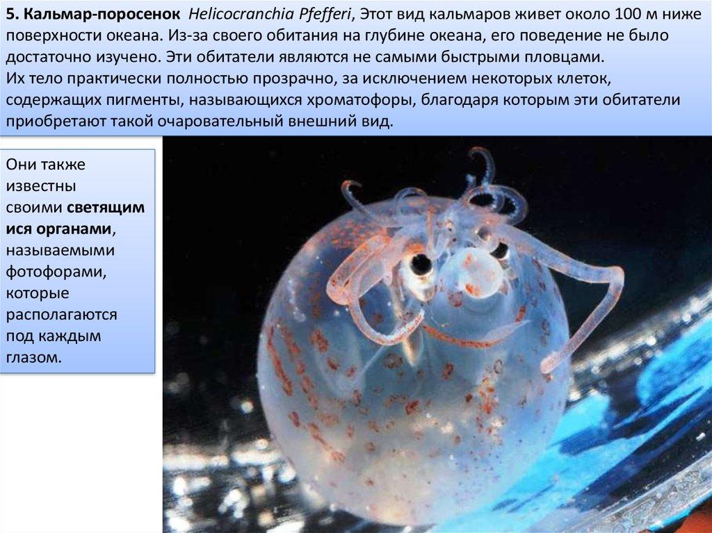 Helicocranchia Pfefferi