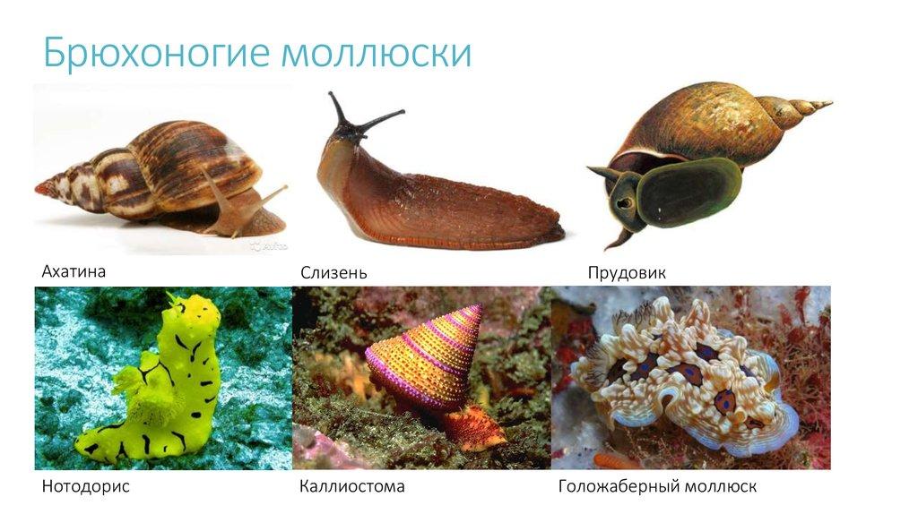 Брюхоногие моллюски картинка