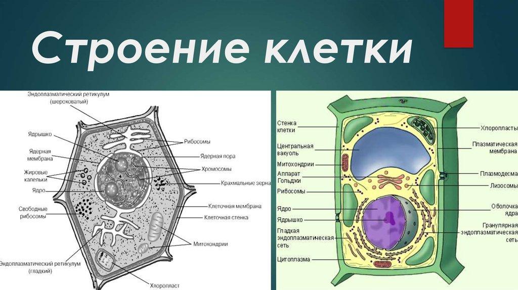 клетки из чего они состоят картинки