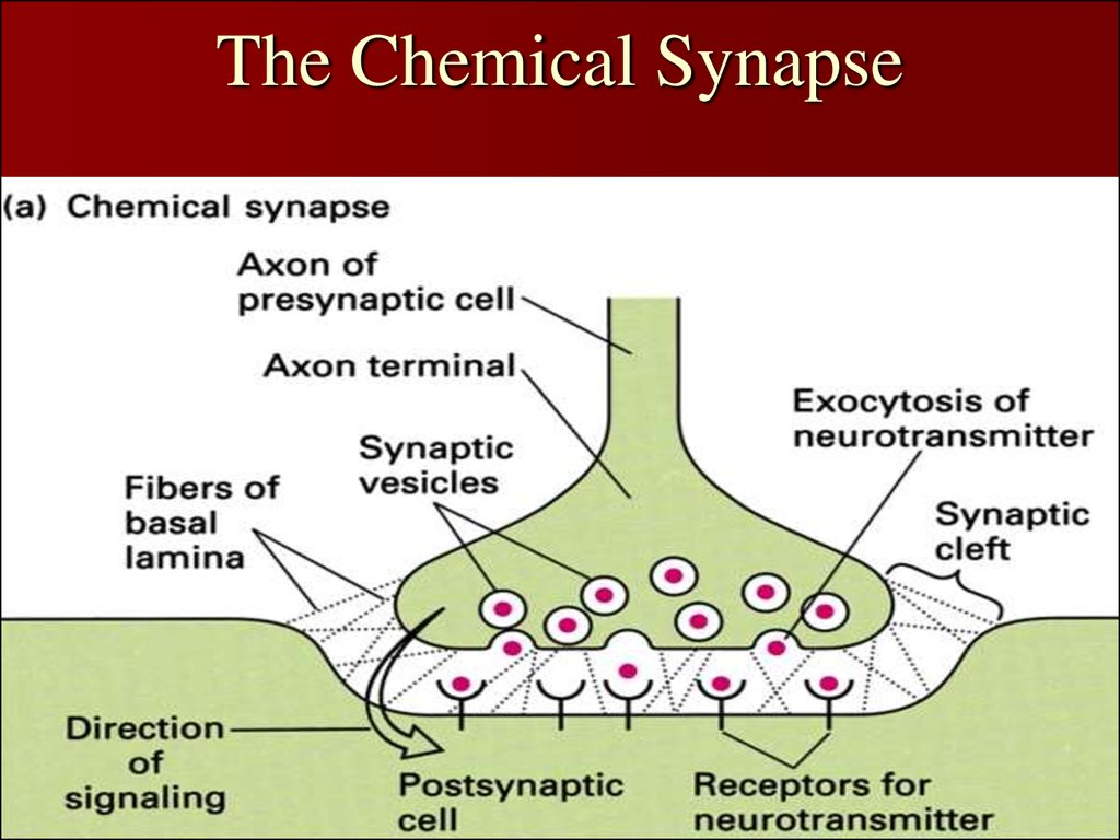 The Chemical Synapse