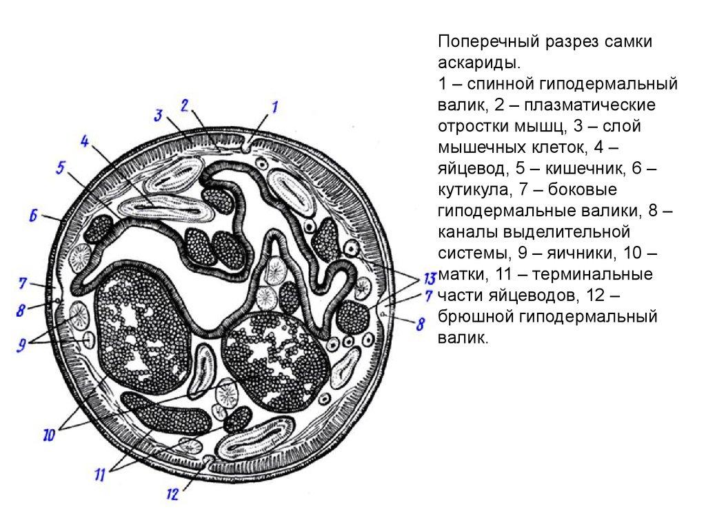 Схема поперечного разреза аскариды