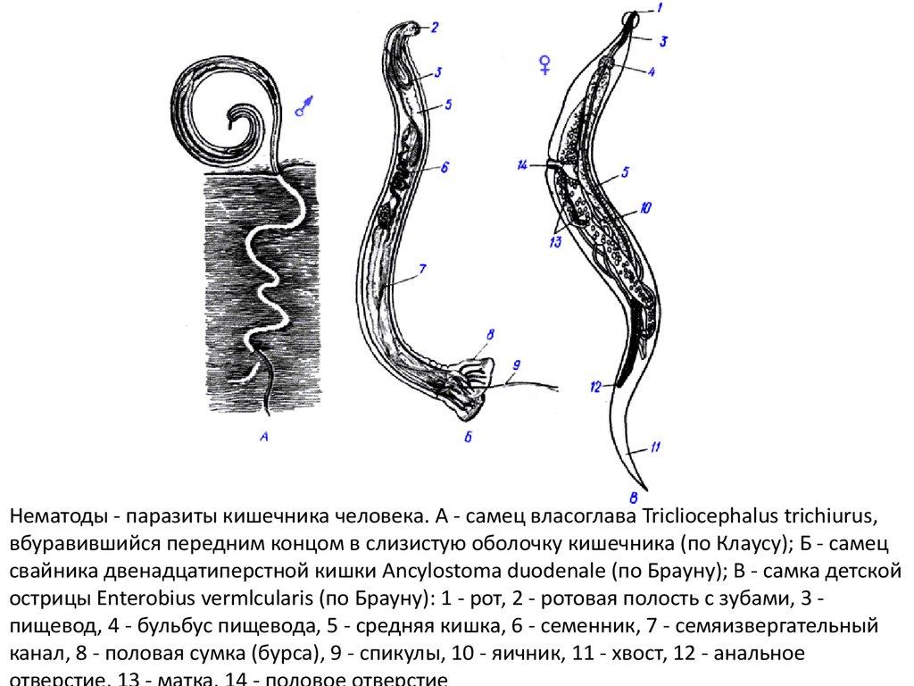 Схема поперечного разреза аскариды фото 730