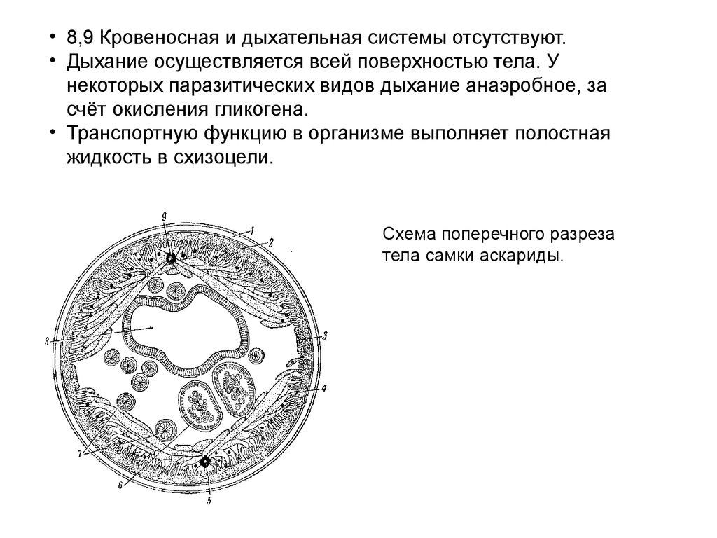 Схема поперечного разреза аскариды фото 837