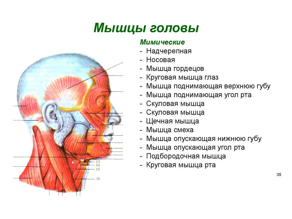картинки мышц головы гостиной-спальни