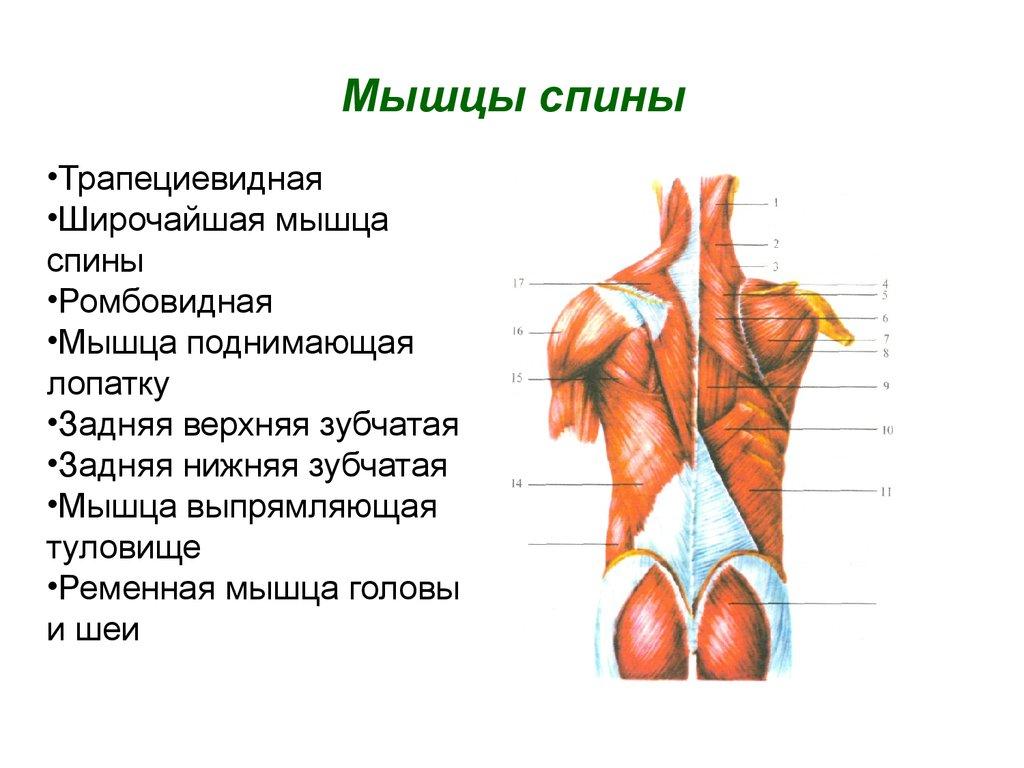 Моя спинару  все о здоровье спины суставов и опорно