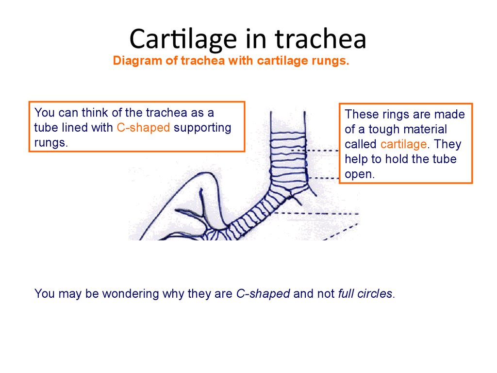 Cartilage in trachea