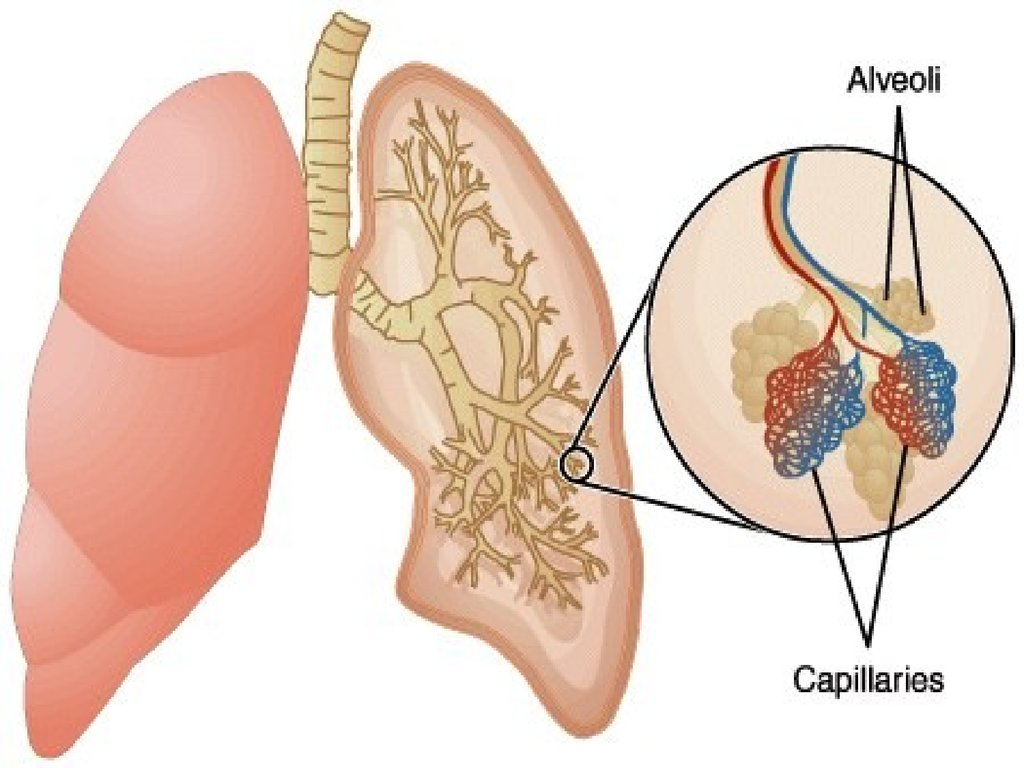 Ks4 Biology The Breathing System Online Presentation