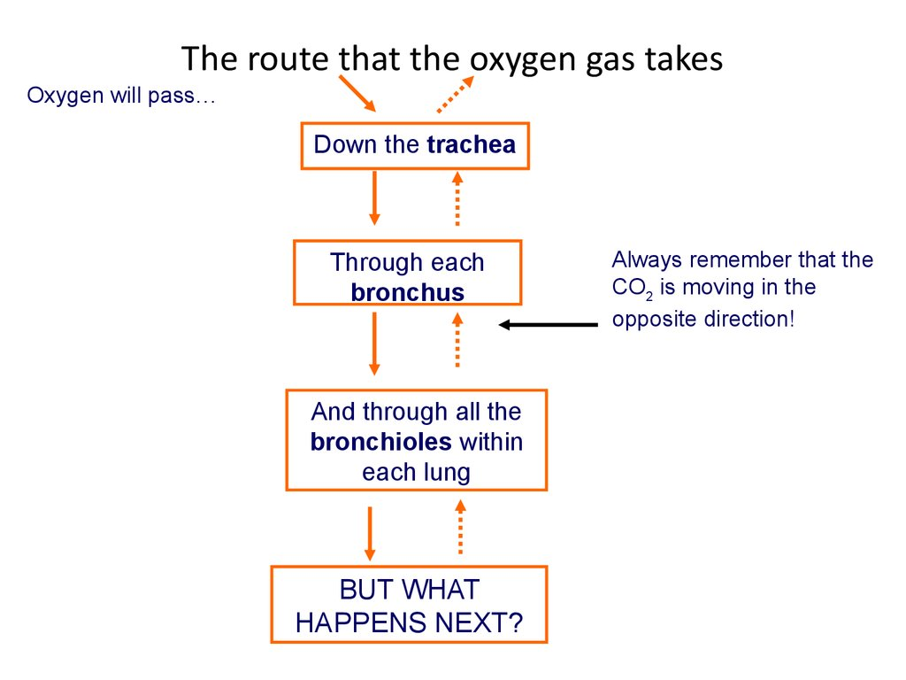 The route that the oxygen gas takes