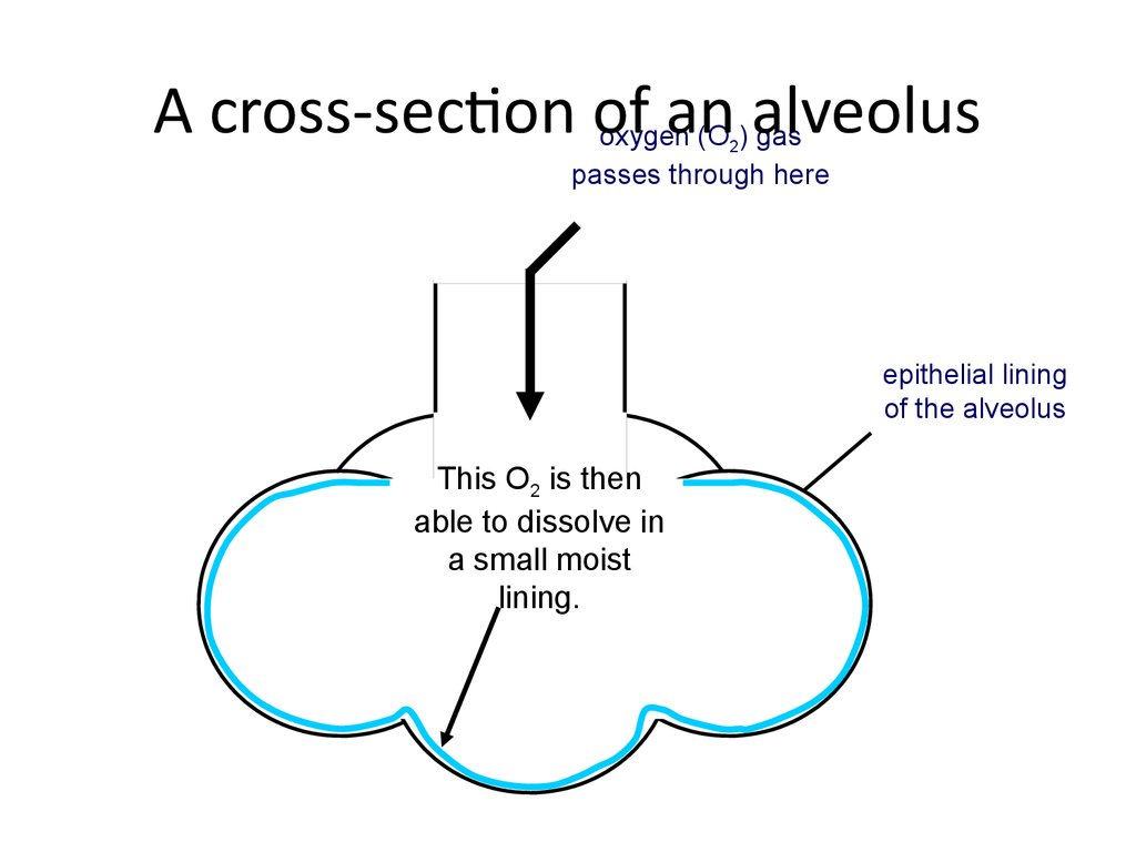 A cross-section of an alveolus