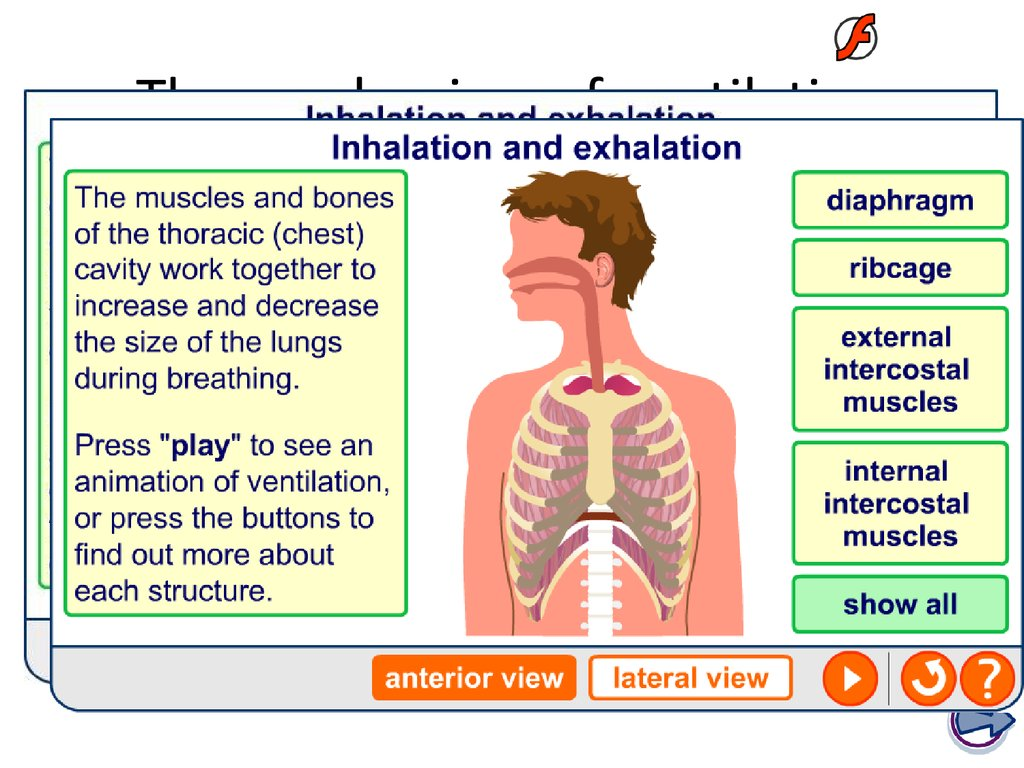 The mechanism of ventilation