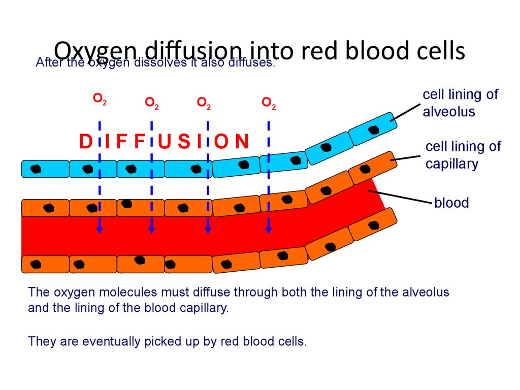 Oxygen diffusion into red blood cells