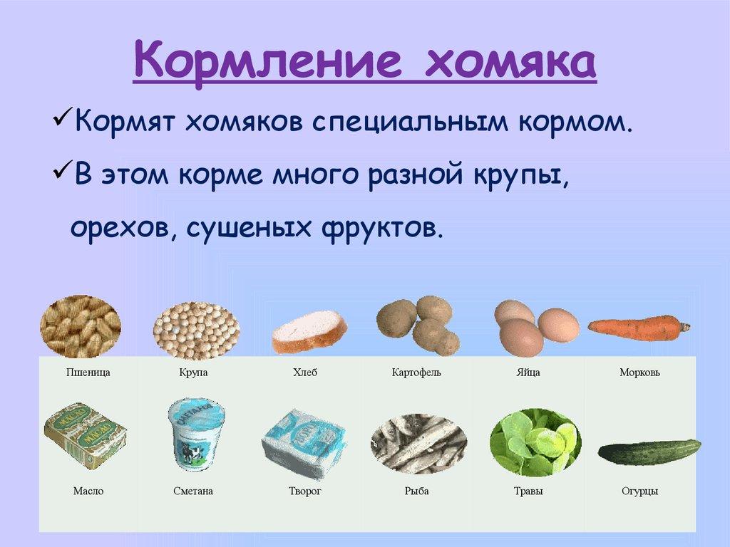 сколько раз в день кормить хомяка