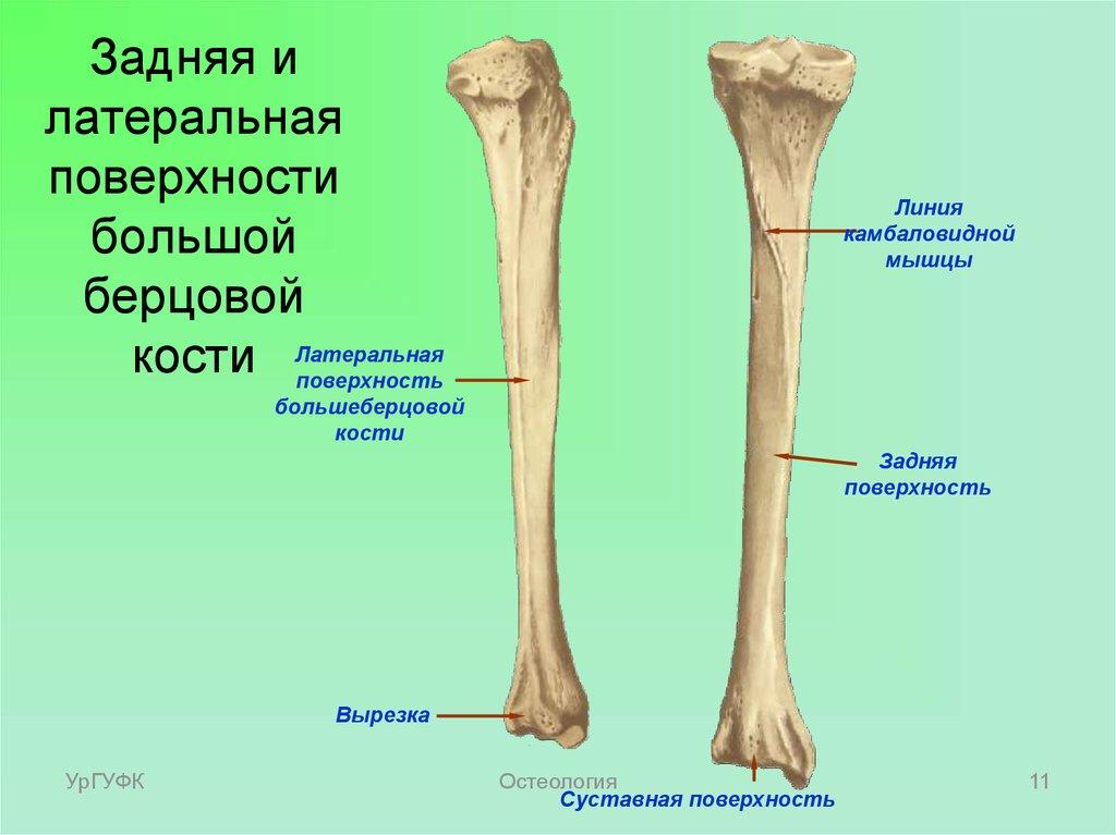 Суставные поверхности на костях нижней конечности опух сустав мизинца на руке