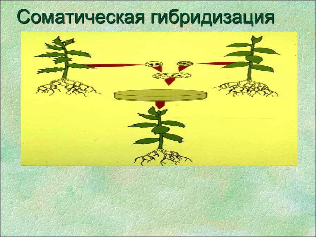 картинки гибридизации растений гаммы